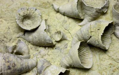 Fossil Horn Corals
