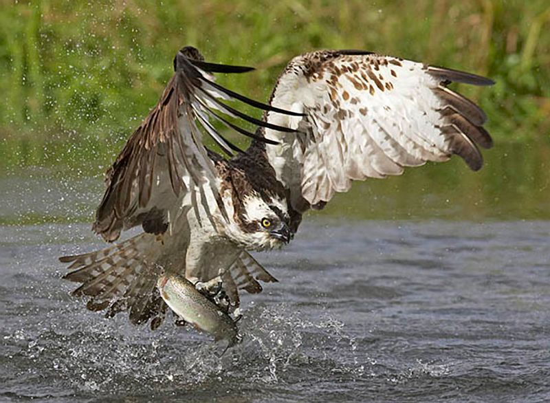 Who should have the right to catch fish constantine for Osprey catching fish
