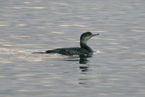 Phalacrocorax aristotelis desmarestii