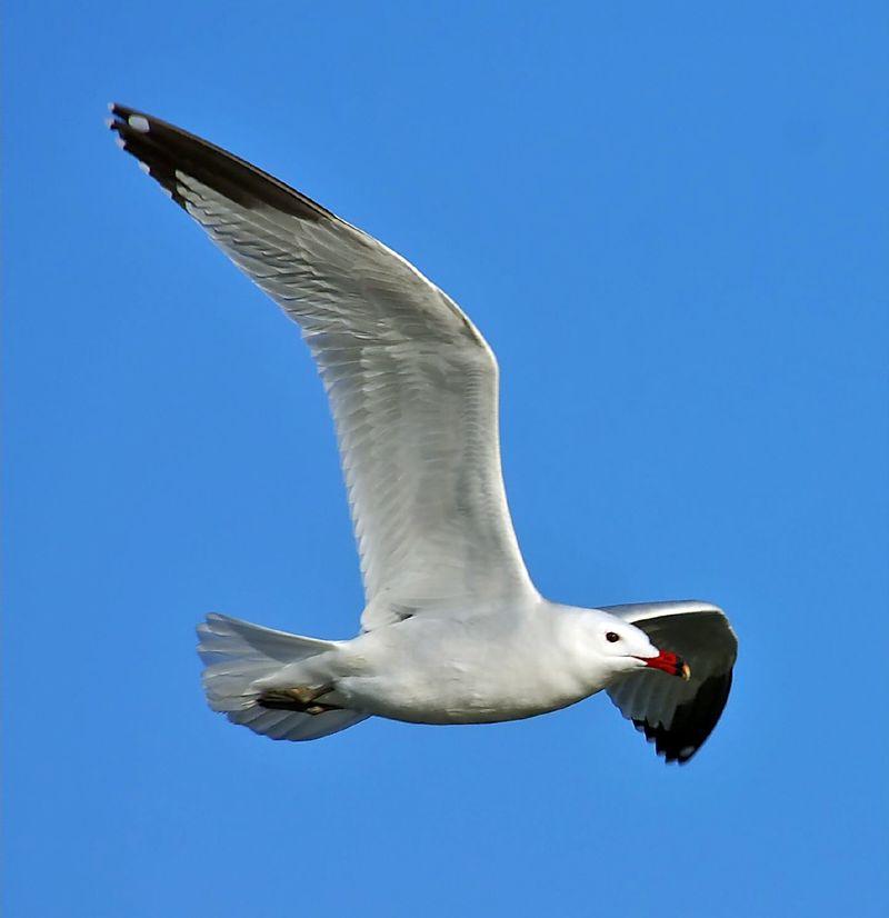 Audouin gull (Larus audouinii)