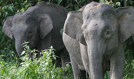 Borneon Pygmy Elephants