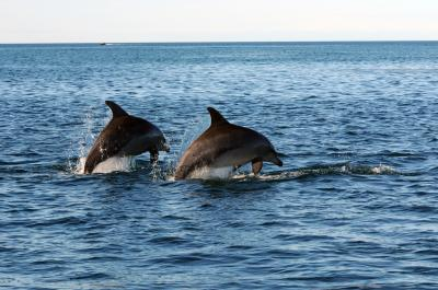 Male Dolphins