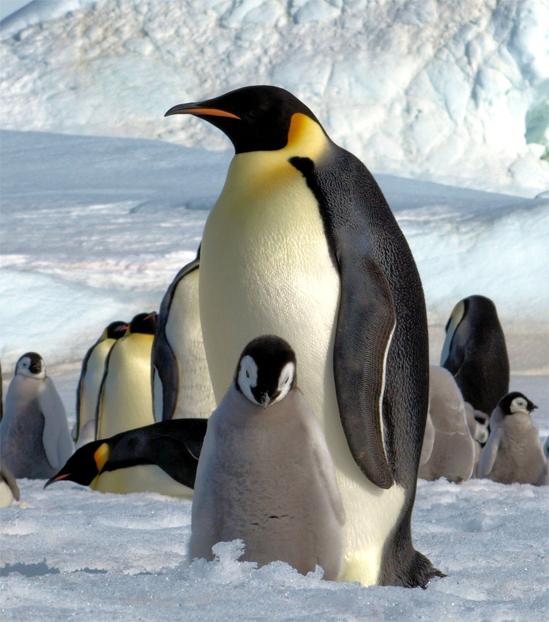 Emperor Penguin 2