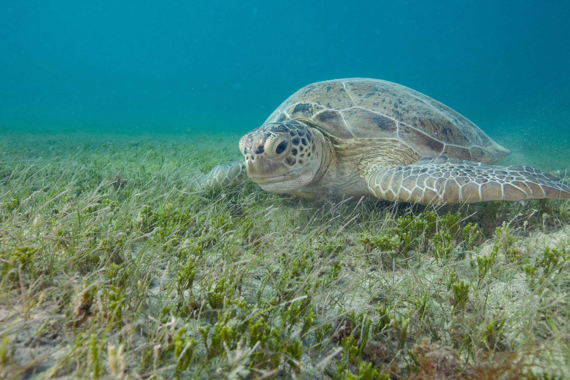 Seagrass beds animals - Green Turtle