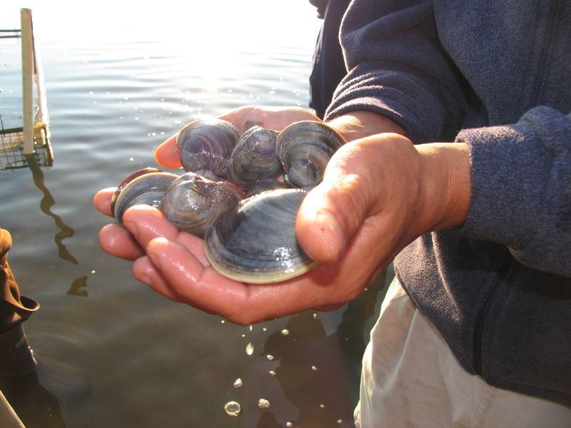Probiotic bacteria shows promise for use in shellfish aquaculture