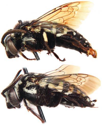 Thyreus denolii