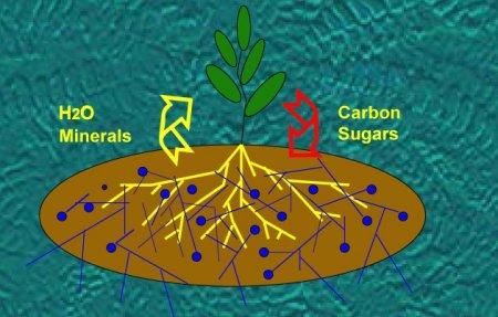 Arbuscular mycorrhizal fungi