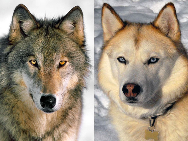 Image result for dogs and wolves