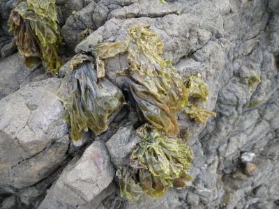 Pyropia plicata on Intertidal Rocks in Summer
