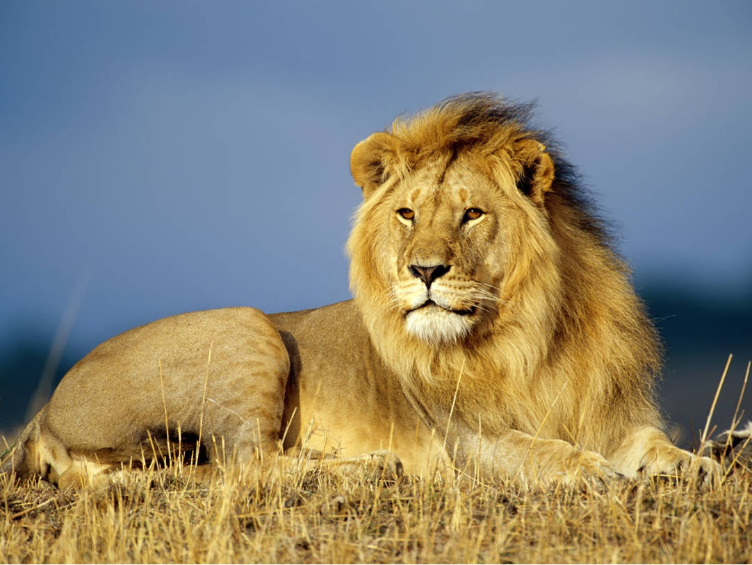 Download 2560x1440 Lion Standing In The Savannah Wallpaper
