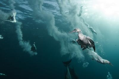 Cape Gannets Diving for Sardines, South Africa