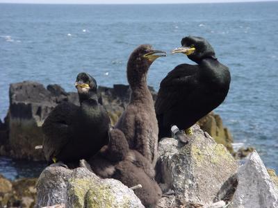 Shags on the Isle of May