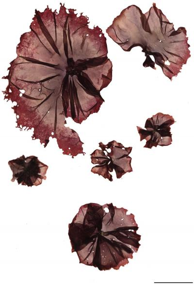 Pyropia plicata, Herbarium