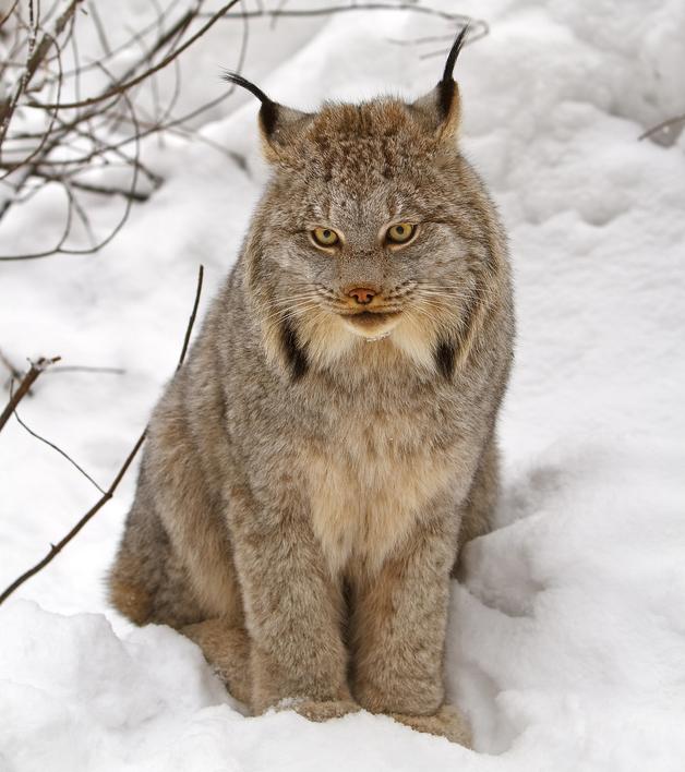 Snowshoe Cat For Sale Canada