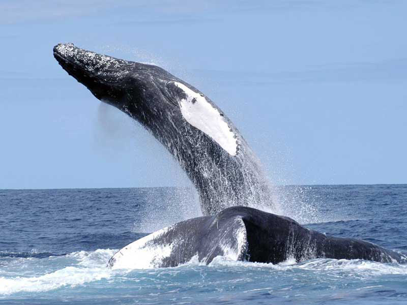 Humpback whales in the Northwest Atlantic