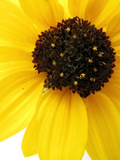 Cucumber-Leaf Sunflower