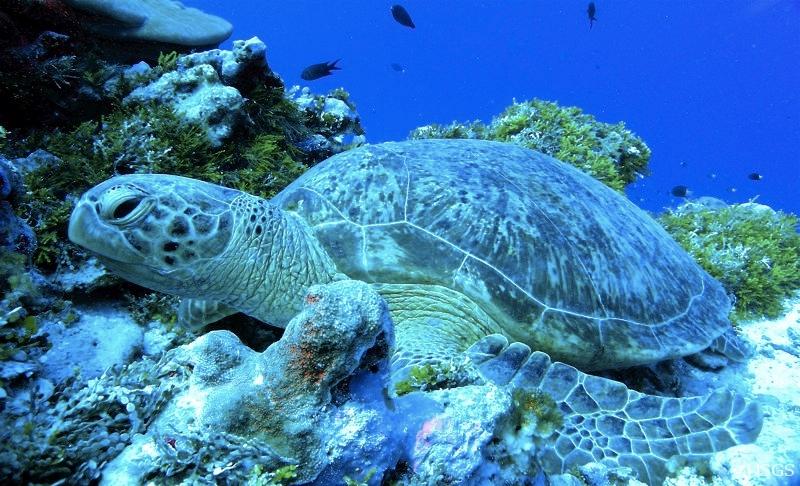 Green_sea_turtle_palmyra_Lafferty