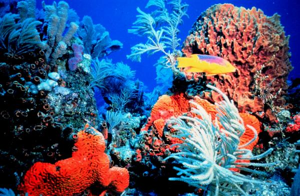 His picture of coral reef in Florida taken by Florida Keys National Marine Sanctuary staff is provided courtesy of NOAA.