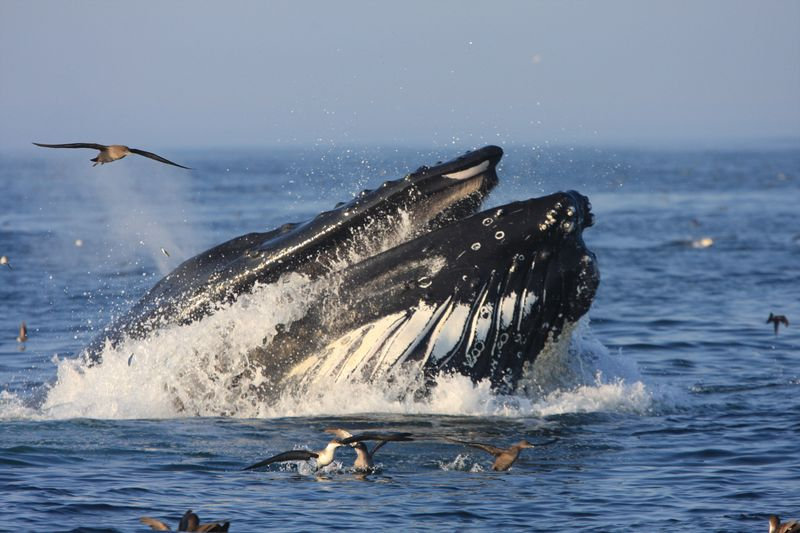 A humpback whale feeds in Stellwagen Bank National Marine Sanctuary