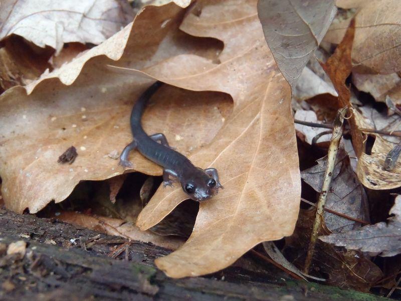 Salamander p montanus by nick caruso.JPG