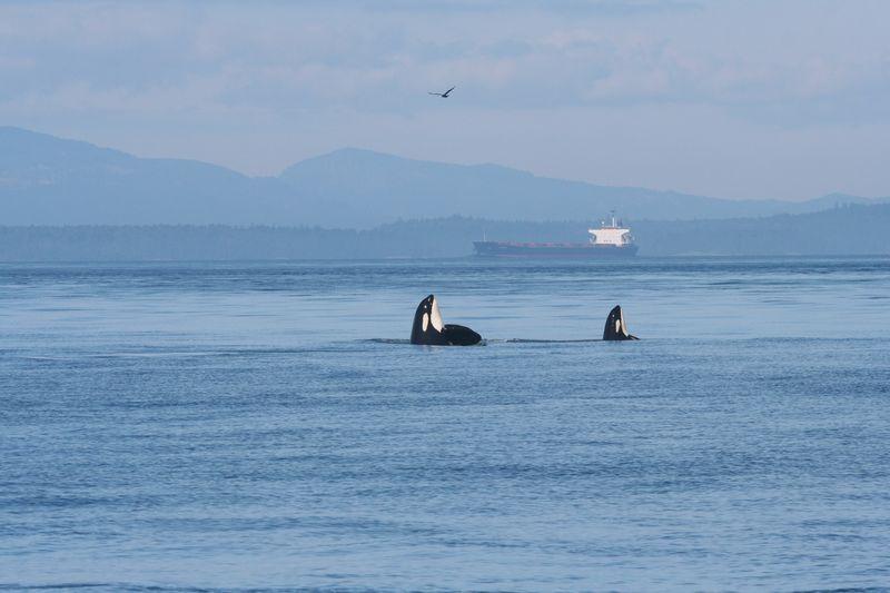 Endangered killer whales eye an oil tanker