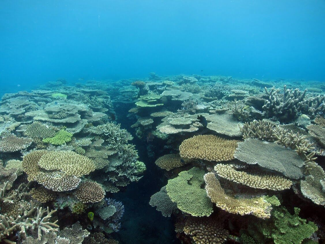 elkhorn coral facts