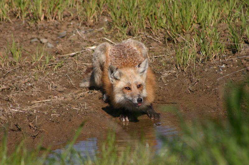 Sacramento Valley Red fox Photo Ben Sacks