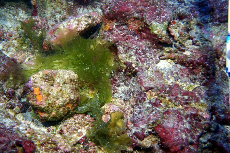 New-species-of-deep-water-algae-at-kure-atoll2