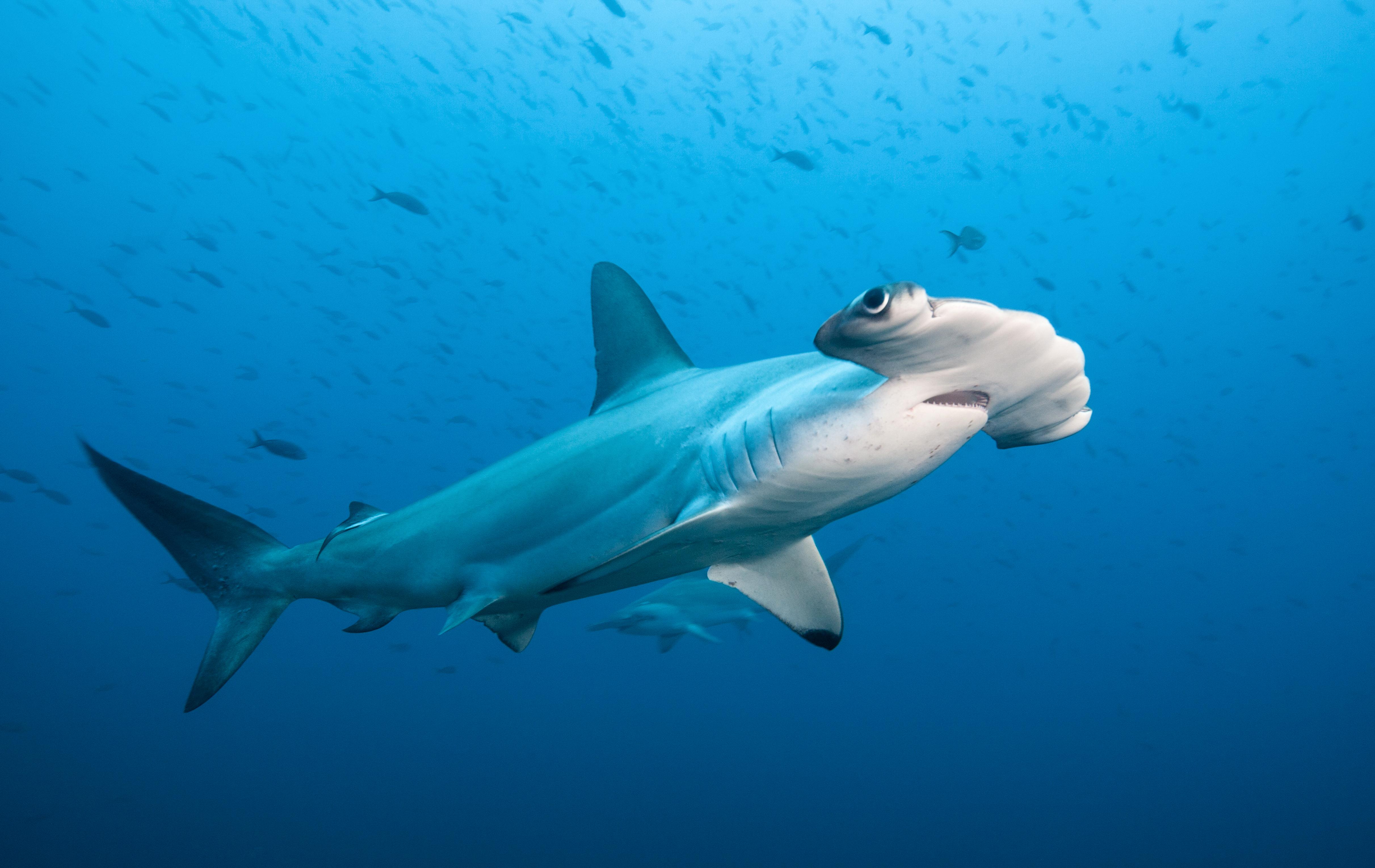 Hammerhead shark migration gives new hope for conservation (Constantine Alexander's Journal)