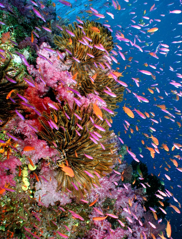 Cat Holloway  soft coral  crinoids & anthias-SMALL